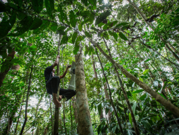 Man climbing a very tall tree in the rainforest canopy